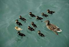 The ugly duckling (pasma) Tags: love nature animal animals duck natur humor duckling expressions natura uccelli ugly impressions piccoli abigfave firsttheearth ysplix