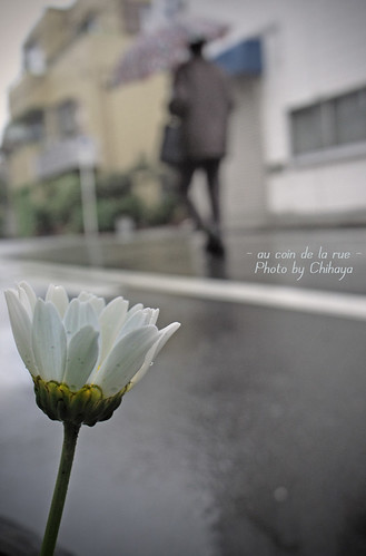 Rainy Marguerite