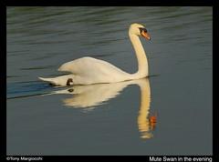 Reflections-4.jpg (Tony Margiocchi (Snapperz)) Tags: wild england sun reflection nature evening swan natural dusk wildlife muteswan nikond200 supershot avianexcellence margiocchi eveningswanlight
