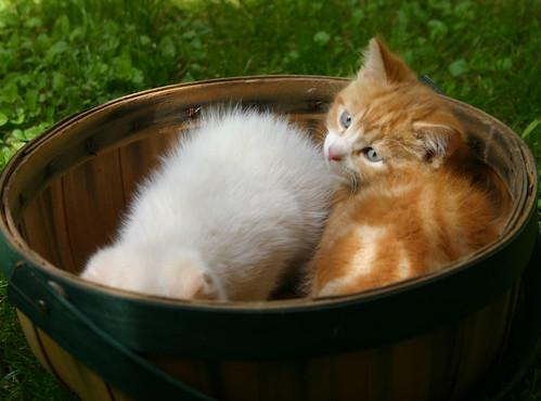 anak anak kucing bermain dalam bakul