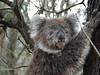 route entre Warrnambool à Princetown.  Tower Hill les Koalas de tres pres et les Emus