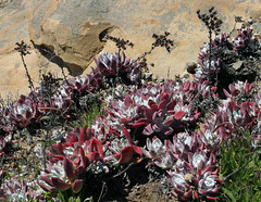 Powdery Dudleya (Ron Wolf (...detests this new design...)) Tags: flower nature wildflower pointlobos dudleya dudleyafarinosa