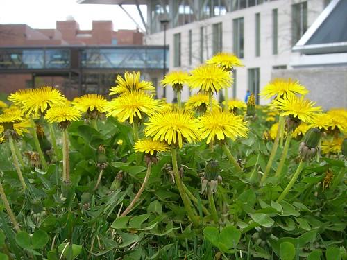 Dandelions at UMass Boston