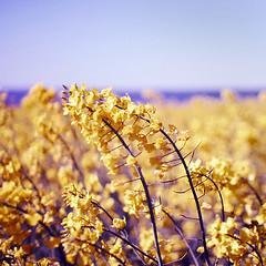 waste me, taste me, my friend (lolitanie) Tags: flowers denmark xpro nirvana rape crossprocessing danmark danemark nordjylland lolitanie jmluneau klitgaard colorphotoaward notreallyno