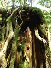 Princess Mononoke's Forest (uqa) Tags: green forest yakushima mononoke ceder   shirataniunsuikyo