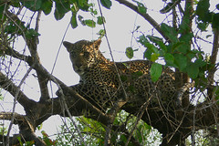 Leopard in tree (Arno Meintjes Wildlife) Tags: africa wallpaper nature animal bush wildlife safari leopard bigcat rsa carnivore pantherapardus arnomeintjes