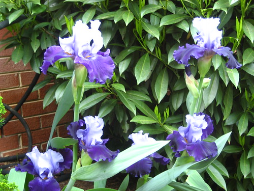 Surprise Iris'