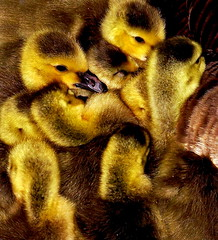 Pure Fluff Heaven (GGoddessS) Tags: life baby cute bird texture birds yellow birdie geese babies searchthebest little group feather adorable canadian goose fluff explore goslings tiny gosling cutest canadageese fuzz beaks naturesfinest interestingness14 featheryfriday flickrsbest challengeyouwinner abigfave goosegoddesss goosegoddess 15challengeswinner photofaceoffwinner pfogold paulinabos storybookwinner