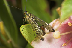 """Male Scorpion Fly (panorpa germanica)(2) • <a style=""""font-size:0.8em;"""" href=""""http://www.flickr.com/photos/57024565@N00/496758832/"""" target=""""_blank"""">View on Flickr</a>"""