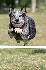 Dot takes a flying leap (zingpix) Tags: usa dog dogs jeff washington all cattle  australian rights agility queensland jeffrey australiancattledog reserved heeler acd blueheeler allrightsreserved zingpix jeffjaquish jaquish jeffreyjaquish