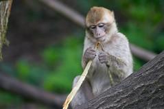 Macaque biologist
