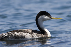 western-grebe-morro-bay_G - by mikebaird