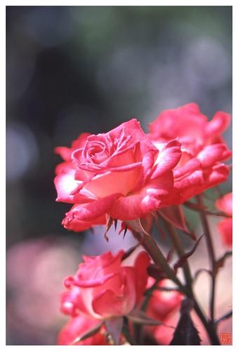 Rose 070520 #19