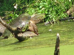 A really big snapping turtle