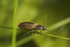 "Click Beetle(1) • <a style=""font-size:0.8em;"" href=""http://www.flickr.com/photos/57024565@N00/510730972/"" target=""_blank"">View on Flickr</a>"