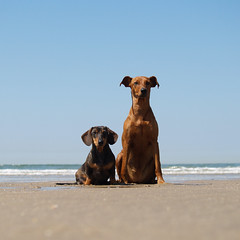 good afternoon (edartr) Tags: dog chien beach cane duo posing ears hond dachshund hund 5bestdogs maasvlakte pinscher 600views k9 petsaroundtheworld