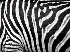 Zebra (Thiru Murugan) Tags: blackandwhite white black macro animal zoo amazing stripes illusion zebra adelaide murugan thiru thirumurugan thiruflickr