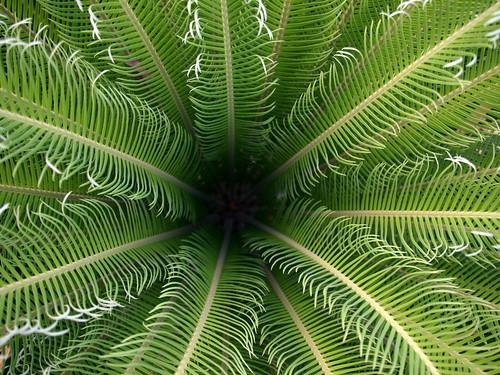 Sago Palm, cycas revoluta