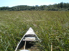 Canoe and Minnesota wild rice by esagor, on Flickr