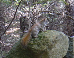 Red squirrel, Goose Pond, Keene, NH