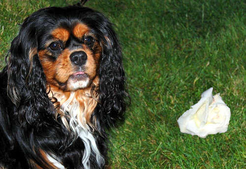 Rose for a Cavalier