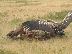 Vultures Feeding (Serengeti) (leeabroad) Tags: africa park bird nature animals tanzania wildlife reserve safari vultures national prey vulture carrion plains migration serengeti mammals beasts
