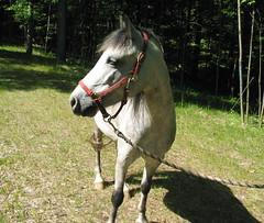 Emily -- Welsh Pony