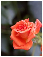 Orange Rose #05
