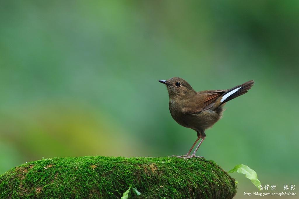 White-tailed robin (Female)