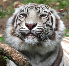 Softness and Beauty!  White tiger! (lemperleconnie) Tags: eye bravo oneofakind explore labyrinth soe animalplanet creamofthecrop zoology whitetigers tigertiger cincinnatizoo naturesfinest blueribbonwinner parkstock supershot magicdonkey instantfave flickrsbest animaladdiction specanimal animalkingdomelite mywinners abigfave tepasaste anawesomeshot itsmagical supremeanimalphoto impressedbeauty superaplus aplusphoto ultimateshot lemperleconnie nationalgeographicareyougoodenough superbmasterpiece goldenphotographer allrightsreserved wowiekazowie diamondclassphotographer flickrdiamond elpasojoesplace citrit searchandreward excellentphotographer flickrelite naturesbeautifulwonders areyougoodenough yourbestphotoonflickr