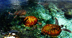 Samoan Turtle Synchronised Swimming Team (ming  mong) Tags: ocean blue colour beach nature water animals pond nikon holidays day wildlife turtles samoa 18200mmf3556gvr d80 circpol jalalspagesnaturealbum