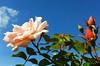 179. ROSES: Peach Goddess Sun-Bathing Up High (www.YouTube.com/PhotographyPassions) Tags: blossom plant rose roses buds sky blue peachrose rosebuds flower bloom flowers bush shrub
