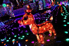 You would even say it glows (judecat ( settling in for the winter)) Tags: decorations lights coloredlights stringsoflights holidaydecorations theneighborhood rudolph