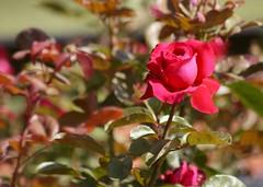 Rose (carlos_ar2000) Tags: naturaleza flower color colour nature argentina rose buenosaires flor rosa palermo rosebush rosedal rosal carlosredondo credondo carlosalbertoredondo carlosaredondo