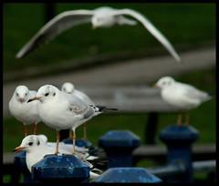 (andrewlee1967) Tags: uk england bravo gulls hollingworthlake andrewlee canon400d andrewlee1967 anawesomeshot impressedbeauty avianexcellence andylee1967 focusman5