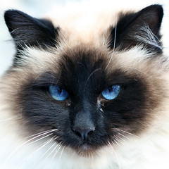 Demon#1 (gio.o) Tags: blue white black animal cat square eyes close explore demon mean 175 500x500 squarish bestofcats impressedbeauty superhearts photofaceoffwinner pfogold boc1007 500x500animal01