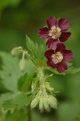 Geranium phaeum | Donkere ooievaarsbek, Mourning widdow