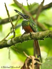 Rufous-tailed Jacamar (Michael Woodruff) Tags: foothills bird birds ecuador birding 2007 lowland galbula pvm rufoustailedjacamar galbularuficauda rufoustailed jacamar nwecuador riosilanche