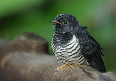 Red chested Cuckoo (Cuculus solitarius) - by Arno & Louise