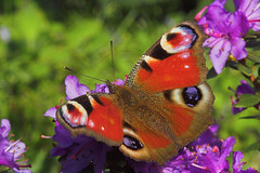"""Peacock Butterfly (Inachis io)(5) • <a style=""""font-size:0.8em;"""" href=""""http://www.flickr.com/photos/57024565@N00/450422406/"""" target=""""_blank"""">View on Flickr</a>"""