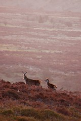 Red Deer - by That bloke