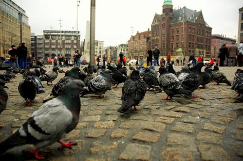 Голуби, Dam Square, Amsterdam
