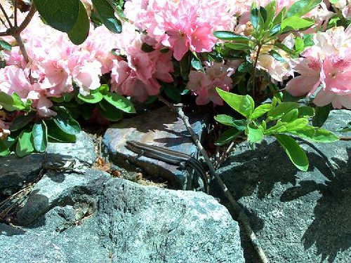 Azaleas and Sunning Lizard