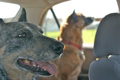 going to the park (gustavosal) Tags: dogs mutt australiancattledog mongrel acd springishere woldumar woldumarnaturecenter