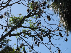 Sydney 011 (Ingrid and Terje) Tags: ingrid bat sydney flyingfox royalbotanicalgardens terje