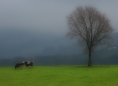 Haya y vacas/Tree and cows (zubillaga61) Tags: fog landscape cows paisaje zb basque niebla vacas haya goldenphotographer