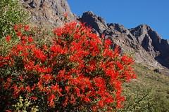Quintral, Reserva Nacional Rio los Cipreses (Niall Corbet) Tags: chile rio andes nacional quintral reserva cipreses