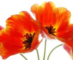 spring flame (Lyubov) Tags: flowers orange flower nature beautiful wow wonderful garden spring fantastic superb great flame tulip stunning lovely aclass naturesfinest thebiggestgroup gtaggroup ilovenatire mywinners abigfave anawesomeshot diamondclassphotographer flickrdiamond bestoforange
