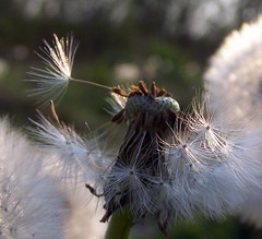 gepustet :-( (derbaum) Tags: flower spring derbaum april blume 2007 frühling ontourwithwinterkind