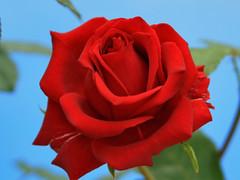 April's Rose (Ubierno) Tags: españa flower primavera fleur rose garden spring spain flor jardin rosa alicante espagne printemps abigfave elventós ventós ubierno